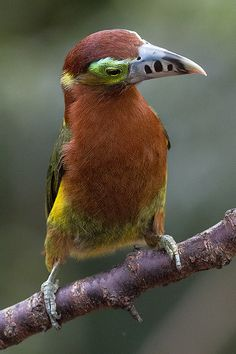Spot-billed toucanet (Selenidera maculirostris) by Arlei Bertani