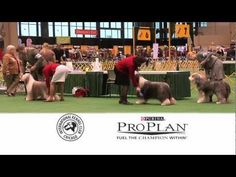 The 2013 International Kennel Club of Chicago Show will be held February 23 and 24, 2013 at McCormick Place-North, 2301 S. Lake Shore Drive, Chicago, IL  60616. Tickets available at the door - cash only. The International Cluster of Dog Shows draws approximately 100,000 spectators over the four-day period. Filmed by Chicago Pet Video. For more i...