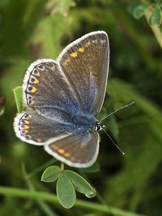 Blue Butterfly (Polyommatus icarus).