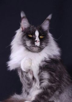 Cats and I have an understanding, but we choose not to interact often. Most Beautiful Animals, Beautiful Cats, Cute Cats And Kittens, Cool Cats, Exotic Cats, Maine Coon Kittens, Cat Character, Warrior Cats, Domestic Cat