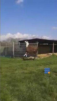 Il semble que ce lama vient d'apprendre une excellente nouvelle. http://noemiconcept.com/index.php/fr/departement-informatique/webbuzz-tech-info/item/206221-un-lama-content-happy-lama.html#video