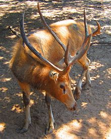 Père David's deer - Wikipedia, the free encyclopedia   Père David's deer (Elaphurus davidianus), also known as the milu (Chinese: 麋鹿; pinyin: mílù) or elaphure, is a species of deer that is currently extinct in the wild—all known specimens are found only in captivity. This semiaquatic animal prefers marshland, and is native to the subtropics of China. It grazes mainly on grass and aquatic plants.