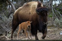 American Bison n calf in Yellowstone National Park, Wyoming_ USA