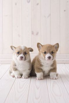 Pembroke Welsh Corgi iphone wallpaper