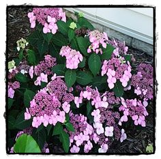 Twist-n-Shout Endless Summer Hydrangea  ~ See the Plant Information Index for more details at kieferlandscaping.com