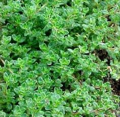 Thyme Culinary - Thymus Vulgaris - 100 Seeds