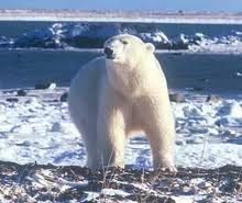 """if you want to see both the ocean and polar bears, the best place is at Churchill, in the northeast of Manitoba, one of Canada's """"Prairie"""" provinces! Adventure Bucket List, Adventure Travel, Ends Of The Earth, Love Bear, Churchill, The Places Youll Go, Climate Change, Arctic, Habitats"""