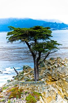 ✯ The Lone Cypress along the 17 Mile Drive in Monterey, CA