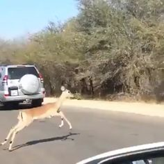 Why are all these deer running? Funny Animal Memes, Cute Funny Animals, Cute Baby Animals, Funny Cute, Cute Dogs, Nature Animals, Animals And Pets, Wild Animals, Deer Running