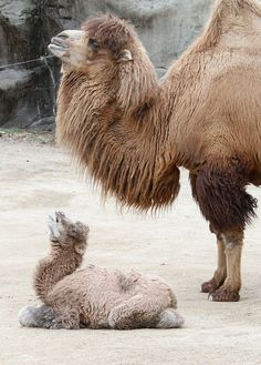 Baby Bactrian Camel (born on February 25, 2014) at the Cincinnati Zoo. Video attached of him standing for the first time.
