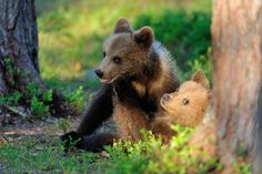 Brown bear cubs playing deep in the forest. Erik Mandre 500px