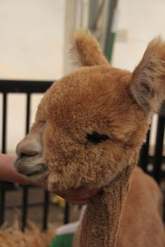 teddy bear alpaca - from Tilly's Nest