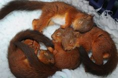 Four baby squirrels sleeping on a cosy blanket after a hurricane rescue