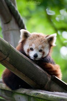Red Panda WWW.RORIPON.COM  JOINT MEMBER TODAY? FREE CHATTING , BUY SELL , EXPORT IMPORT , VOUCHER DEALS, OR OTHER BEST FOLLOWING.  WWW.RORIPON.COM
