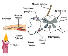Dendrites and the cell body are located in the spinal cord; the axon is outside of the spinal cord Function Conduct impulse to the spinal cord Interconnect the sensory neuron with appropriate motor neuron Conduct impulse College Nursing, Nursing Notes, Science Education, Health Education, Physical Education, Nervous System Anatomy, Yoga Anatomy, Human Anatomy, Peripheral Nervous System