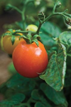 8 Great Plants You Gotta Grow: 'Micro-Tom' Tomato