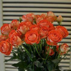 Trandafiri Portocalii cu livrare în Moldova Rose, Plants, Bicolor Cat, Pink, Roses, Planters, Plant, Planting, Pink Roses