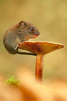 A young vole feeding from the top of a butter cap mushroom. photography by Simon Roy.