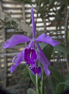 hybrid cattleya maxima orchids plants and flowers | cattleya maxima flower purple flower of the orchid species cattleya ...