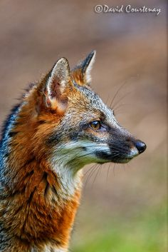 Grey Foxes can have red on their backs and faces, but are mostly grey.