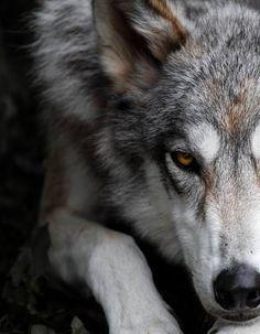 ...wolf