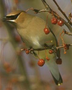 Cedar Waxwing  from Great Backyard Bird Count by Jack Bartholmai