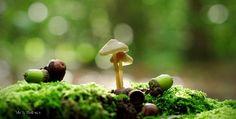 Mushroom and acorns