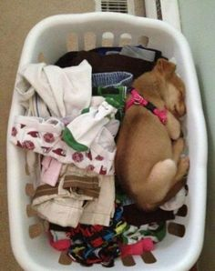 Sleeping puppy!  so cute!  Mine did this when we first brought her home from the dog rescue..she is full grown now but still thinks she can fit in the basket.