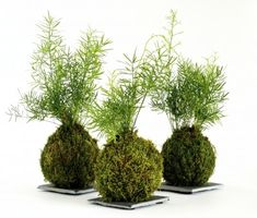 What Is A Kokedama: Tips On Making Kokedama Moss Balls - What is a Kokedama? It is a form of Japanese garden art that is centuries old and tied into the practice of bonsai. You can practice the art of Kokedama yourself with just a few items and minimal skill. This article will help.