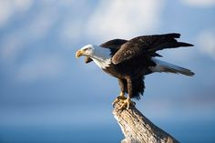 The American Bald Eagle, Hawks, and other unique bird species frequent the Oswego Region. The Eagles, Bald Eagles, Different Types Of Eagles, Scorpio Sun Sign, Nicolas Vanier, Eagle Pictures, Plenty Of Fish, American Symbols, American Pride