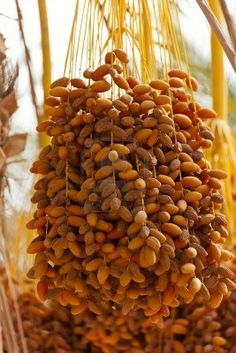 Picture of Bunch of dates is hanging from the palm stock photo, images and stock photography. Fresh Dates, Tree Study, Dog Food Recipes, Healthy Recipes, Fruit Picture, In Natura, Raised Garden Beds, Fresh Fruit, Vegetable Garden