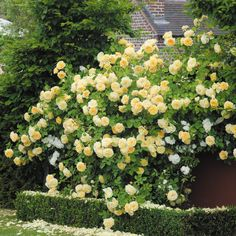 Repeat-Flowering - Popular Searches : English Roses-bred by David Austin and Climbing Roses