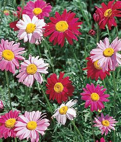 Painted Daisy, Mixed Colors Unique daisies in vibrant colors. Colorful, single and semi-double white, pink, rose, red and crimson feathery-leafed daisies. Also known as pyrethrum daisy or Chrysanthemum coccineum. Flowers bloom in midsummer starting the second season after seed is sown. Lovely in both the garden and great for cutting.