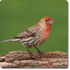 House #Finch – Bird o' the Day – Backyard Wild #Bird Directory –