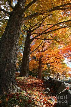 """Emery Farm Trees -- Fall Foliage -- *Durham, New Hampshire*""  [Photographer Brett Pelletier - 2010]'h4d'121008"