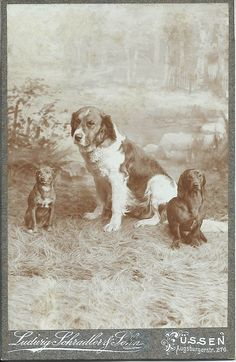 c.1900 cabinet card of three pals: a dachshund, a little terrier and a bigger dog -- together in a photographer's studio. Photo by Ludwig Schradler & Sohn of Füssen, Germany.  From bendale collection