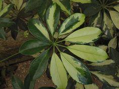 Schefflera arboricola popular Chefera