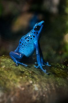 earth-song:      Poison Dart Frogby~CharlesWb
