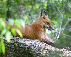 foxanimal | Fox - Animal ID | Flickr - Photo Sharing!
