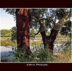 Cork tree (Quercus suber) - Sobreiro/Sobro/sobreira/chaparro, Portugal is the world largest cork producer and exporter. #Marvao #Alentejo #Portugal  #travel #hotel #Boutiquehotelpoejo