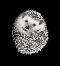 A very cute hedgehog curled up and cuddly, though don't cuddle!