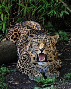 African Leopard by *SnowPoring on deviantART