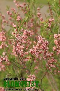Prunus tenella `Fire Hill´ Dvärgmandel Prunus, Fire, Peach
