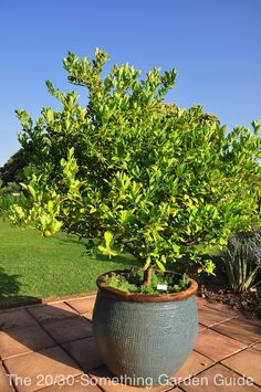 Lime tree in a heavy glazed container. | 20-30 Something Garden Guide