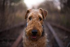 Gunny - Airedale Terrier 1 - My Airedale terrier named Gunny :)