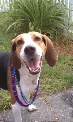 Daisy, our Treeing Walker Coonhound