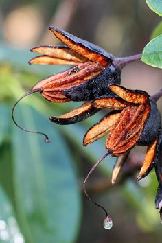 Rhododendron Seed Pods by Paul Sorensen