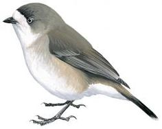 Southern Whiteface (Aphelocephala leucopsis)