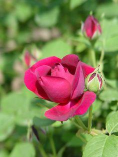 'Mogador' | Old rose, France-Descemet,1819