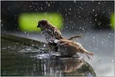 The public bath - Sparrows bathing - Pixdaus